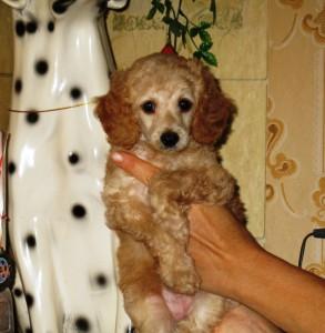 Белла маленькая, 1,5 месяца.